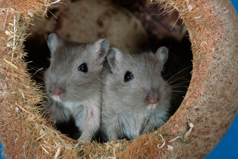 For the Mongolian gerbils this is the second space operation: they have already been out above the sky in 2007. Source: Alamy / Legion Media