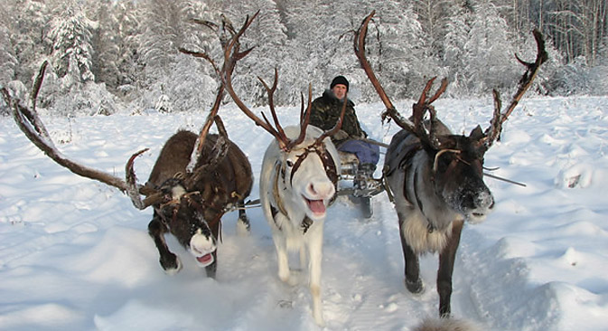 There are 13 reindeer on the farm, which entertains three of four groups of visitors every day, with 26 or 42 people in each group. Source: Sevolen.ru