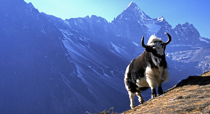 Yaks are capable of transporting heavy loads and are very docile and easy to manage. Source: Alamy / Legion Media