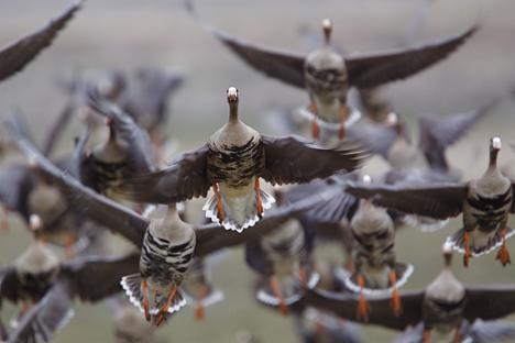 Os gansos são um indicador de condições favoráveis em uma determinada área Foto: Shutterstock