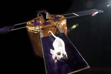 Eksperiemen ini serupa dengan misi pada April 2013, yang mengirim tikus dengan jumlah yang sama ke luar angkasa menggunakan kapsul antariksa Bion-M. Sumber: NASA