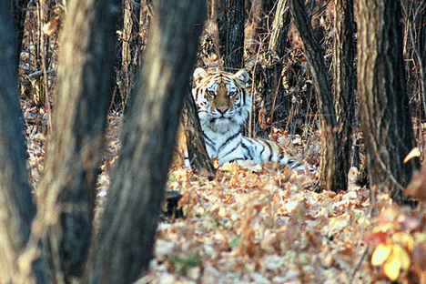 Far Eastern national park is home to about 30 Amur tigers.