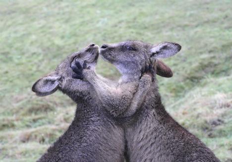 A pair of gray kangaroos.