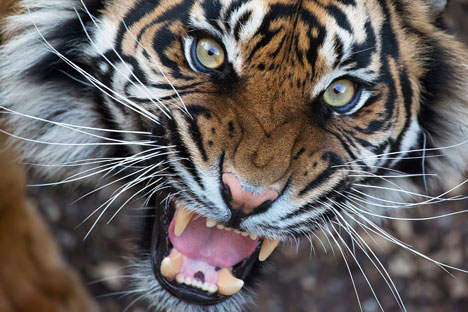 Instructions for wildlife conservationists: How to save tigers