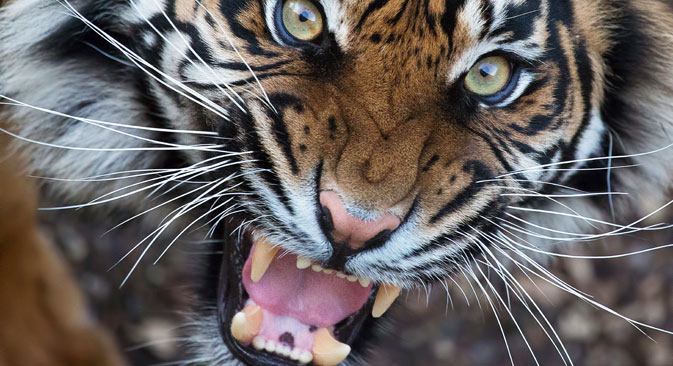 Amur tiger. Source: Alamy / Legion-Media