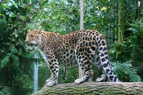 El leopardo de Amur es un animal en peligro de extinción. Fuente: Zoo de Moscú.
