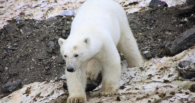 Vladímir Putin lleva el control de varios programas de defensa de animales protegidos, especialmente, del tigre de Amur, el leopardo de las nieves y la ballena blanca. Fuente: Flickr.