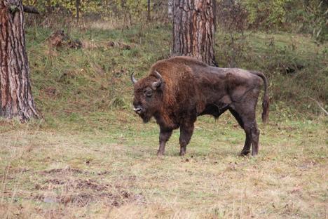 El bisonte europeo es el animal mamífero terrestre más grande de Europa. Fuente: Natàlia Boronat Rovira