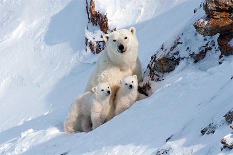 En la  Tierra de Francisco José no vive nadie, salvo los osos blancos. Fuente: Bezrukov & Bashnaeva.