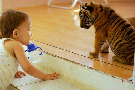 Rusia cuenta actualmente con una población de alrededor de 400 tigres. Fuente: Mijail Mordásov