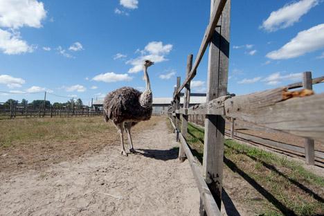 En la ciudad de Múrmansk hay una granja de estas aves africanas. Fuente: PhotoXpress