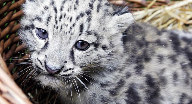El leopardo de las nieves en Kirguistán. Fuente: AP