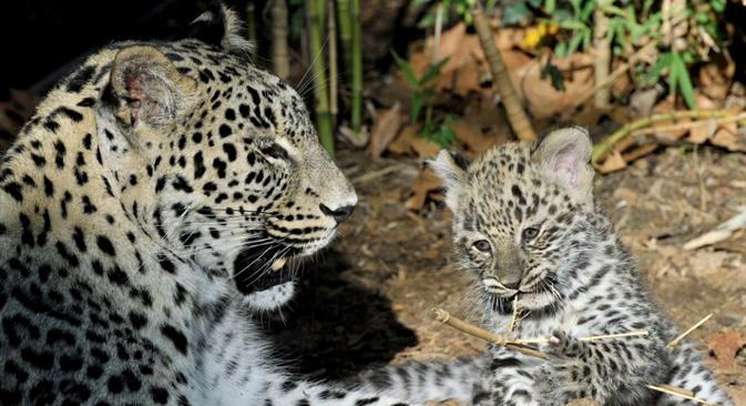 Novos filhotes serão levados para o Cáucaso depois de aprenderem a caça Foto: AP
