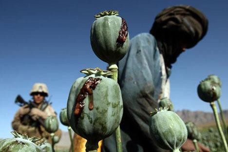 Plantação de papoulas para produção de heroína no Afeganistão Foto: Reuters/Vostock Photo