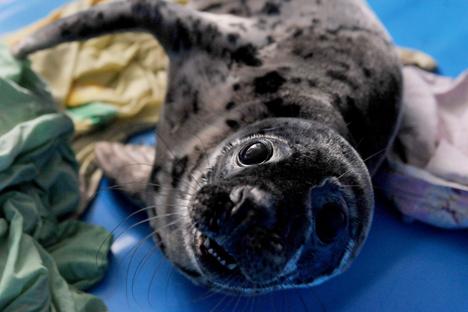 As focas pequenas são crédulas e as pessoas podem se aproximar delas, tirar fotografias e acariciá-las Foto: AFP / East News