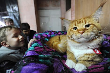 Un gato de raza Maine Coon. Fuente: AFP / East News