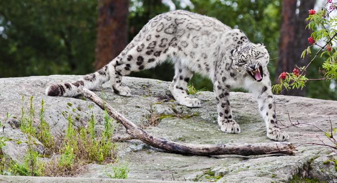 leopardo de las nieves. Fuente: shutterstock