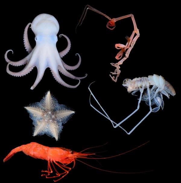 A grandes profundidades, además de pulpos, estrellas de mar y gambas, también se encuentran muchos animales de otro tipo que impresionan por sus extrañas formas. Este camarón esqueleto se asienta firmemente sobre pequeñas ramas y captura con sus grandes pinzas a los pequeños animales que pasan nadando cerca de él.