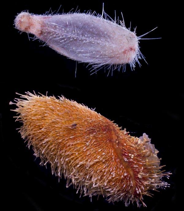 Los erizos marinos de las profundidades sorprenden incluso a los biólogos por su inusual forma y fragilidad.
