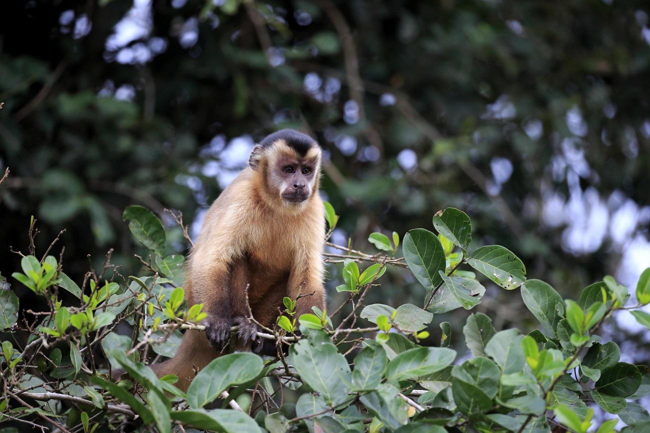 Macaco em reserva no Pantanal (Foto: Global Look Press)