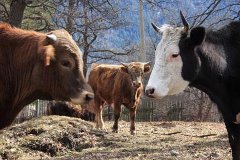 Les animaux devront également être mis en quarantaine dans l'un des pays européens non contaminés et passer deux tests de diagnostique. Crédit photo: Itar-Tass