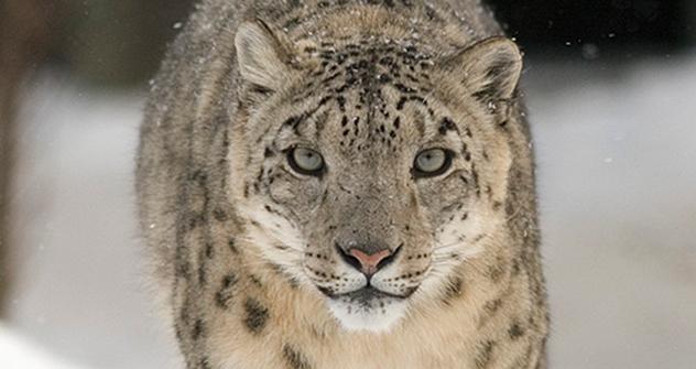 On peut donc désormais affirmer avec certitude que  le mont Tchikhatchov compte au moins quatre spécimens de panthère des neiges. Crédit photo: Bernard Landgraf