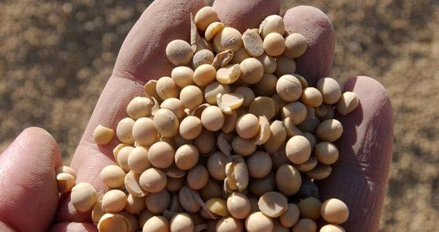 En 2011 et 2012, la marge de profits pour la production de soja dans le district fédéral central a dépassé de 30% celle pour la cultivation de tournesol. Crédit: Itar-Tass