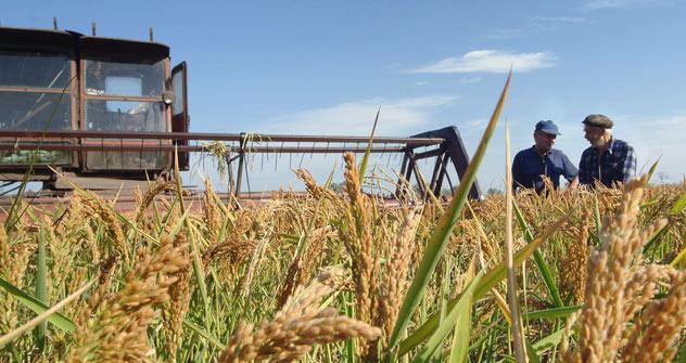 La récolte totale brute de riz s'élevait à 1,05 million de tonnes en 2011, et devrait atteindre un million de tonnes cette année. Crédit: Itar-Tass