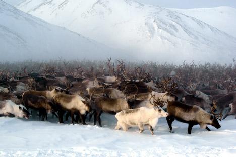 Chez les rennes, le troupeau suit son chef. S'il court, tous courent, jusqu'à l'épuisement. Crédit : Lori/Legion Media