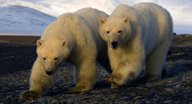 A l'automne, la Russie peut recevoir le sommet international ou le forum sur la conservation des ours polaires. Crédit : Bezrukov & Bashnaeva
