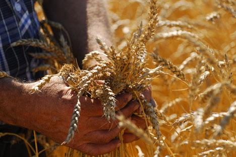 Selon le scénario de financement du développement du marché du blé, la prévision à long terme indique que la production de blé en Russie pourrait atteindre les 141 millions de tonnes. Crédit : Itar-Tass