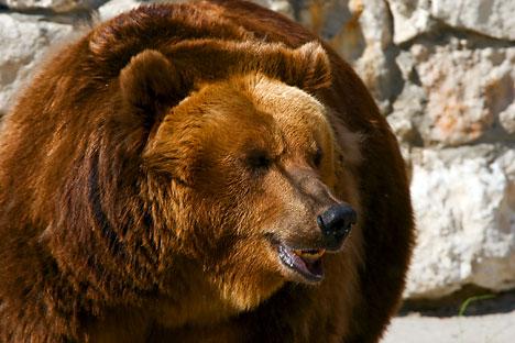 Ceux qui ont croisé le regard de ces ours insistent sur le fait que l'imposant animal n'attaquera que s'il se sent menacé. Crédit: Lori/Legion Media