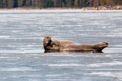 Der natürliche Lebensraum der Robben im Weißen Meer entwickelt sich zu einem Zentrum des Öko-Tourismus. Foto: Jewgenij Ptuschka/ Strana.ru