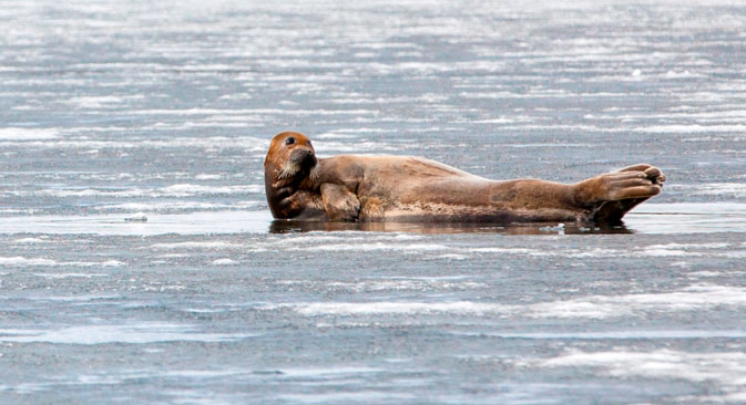 Au printemps, ces lions marins, moustachus et débonnaires, se rassemblent généralement là où la glace recouvre encore les rivages. Crédit : Evgueni Ptouchka/strana.ru