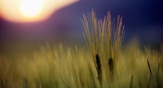 À l'issue de l'année agricole qui s'est achevée en Russie le 30 juin, le pays a exporté 25,4 millions de tonnes de céréales, dont 18,3 millions de tonnes de blé. Crédit : Itar-Tass