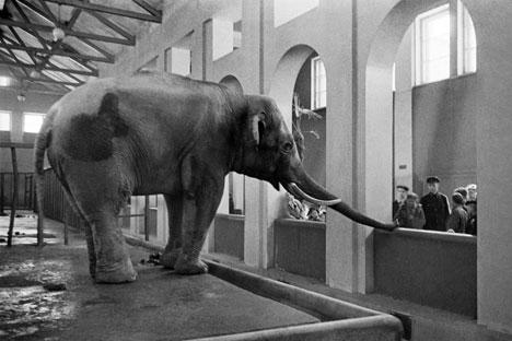 Un éléphant au zoo de Moscou, 1944. Crédit : Anatoly Garanin / RIA Novosti