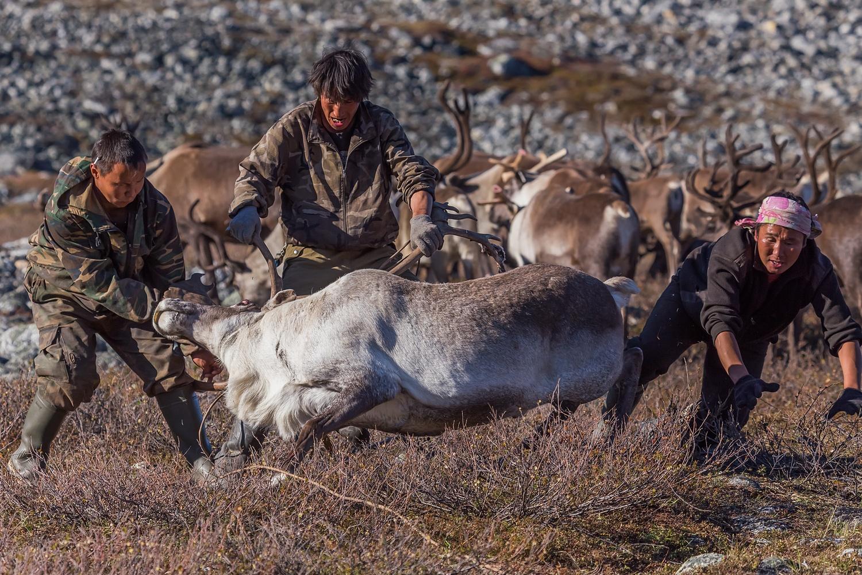 Le second genre de ferme est exploité par des travailleurs salariés. Ils sont chargés de garder les terres de pâture, de surveiller les rennes, ainsi que de soigner et s'occuper des animaux malades. Cependant, ils manquent parfois ce lien personnel qui lie le berger au renne quand il sait que l'animal lui appartient.