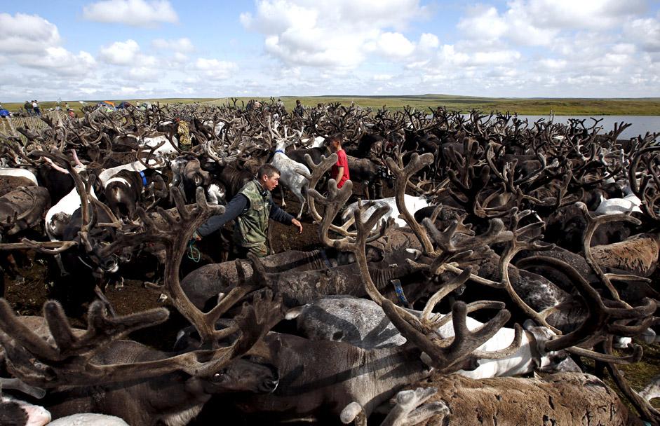 ロシア北西部・ネネツ自治管区のトナカイ放牧場