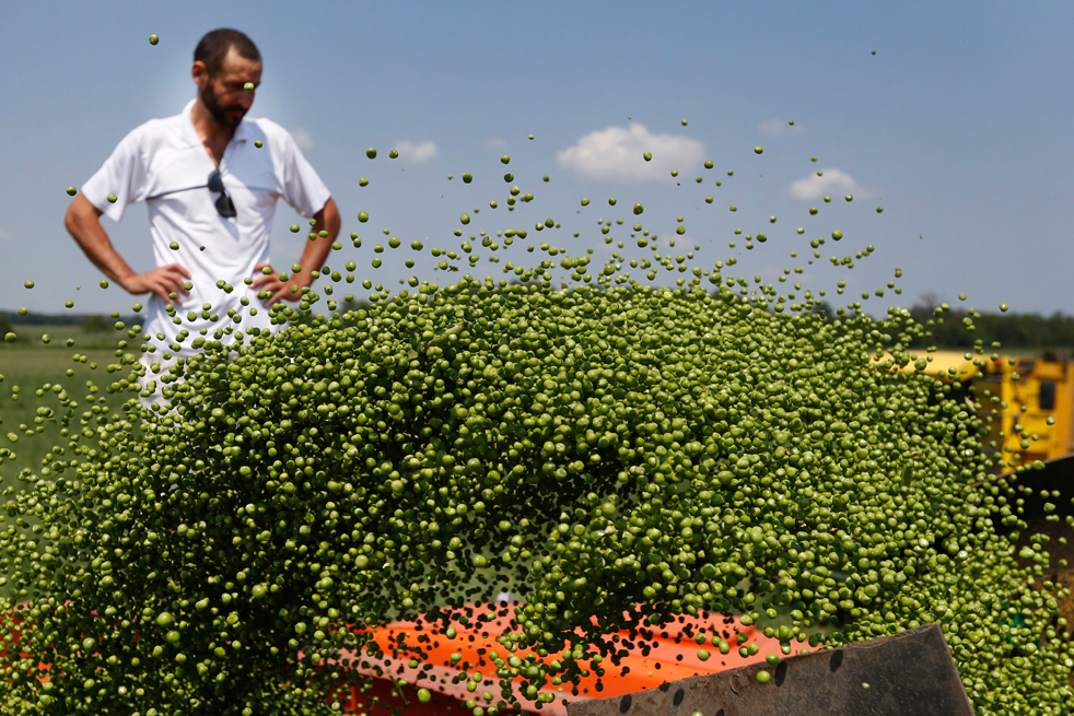Récolte de petits pois dans la région de Krasnodar (sud-ouest du pays).
