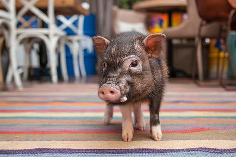 Le cochon nain Fanny, habitant du grill house Funny Cabany.