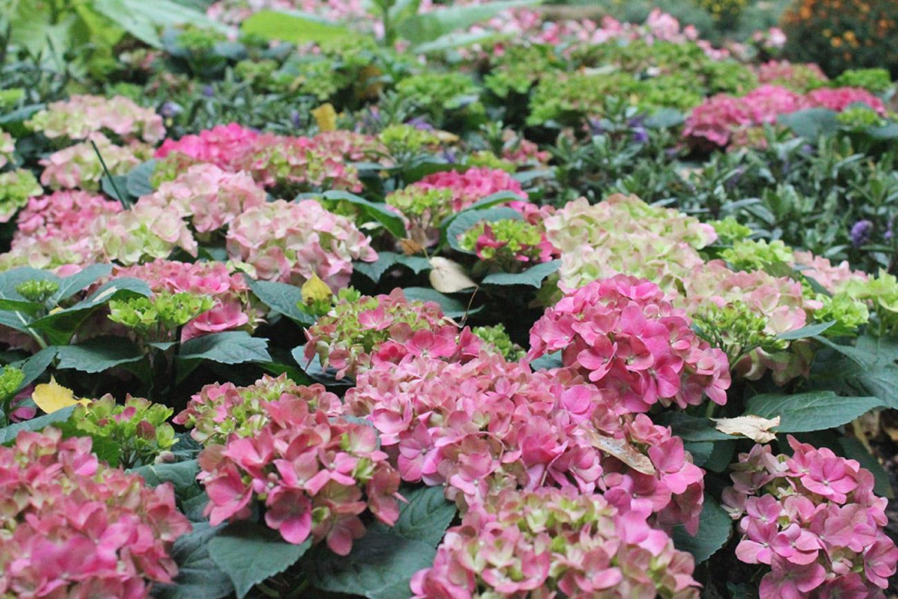 Le jardin présentera plus de 50 variétés d'hortensia paniculé. Crédit : Maria Afonina