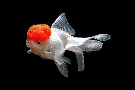 """Oranda, jedna od ukrasnih vrsta akvarijske """"zlatne ribice"""" s """"crvenom kapicom"""" na glavi. Fotografija: Andreea Filip."""