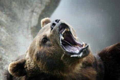 Sahalinski mrki medvjed, vjerovali ili ne, vrlo je sramežljiva životinja i samo instinkt opstanka natjerat će ovu krupnu zvijer na agresiju. Izvor: ITAR-TASS