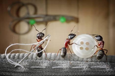 Mravi na fotografijama Andreja Pavlova izgledaju više kao Liliputanci ili vrlo niski ljudi nego kao insekti. Izvor: Shutterstock/ Legion Media
