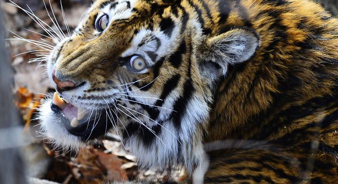 Savjeti putniku: Kako preživjeti susret s amurskim tigrom