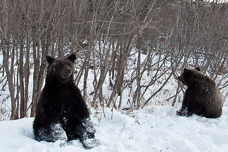 Dua bulan musim dingin yang hangat di Rusia mem buat para beruang tetap terjaga. Kredit: Dmitry Tretyakov/RIA Novosti