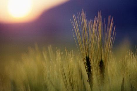 Rusia berupaya semaksimal mungkin untuk meningkatkan produksi biji-bijian dalam 10-15 tahun ini, agar dapat mencapai kisaran 115-130 juta ton. Foto: ITAR-TASS