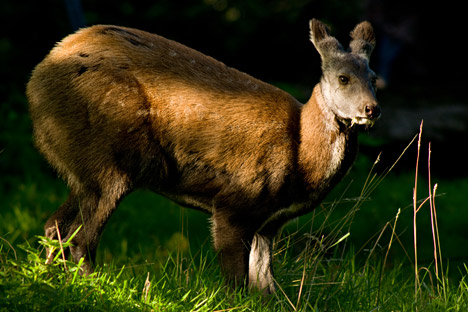 Rusa-rusa Siberia adalah para peloncat ulung. Foto: Redmond O. Durrell/Alamy