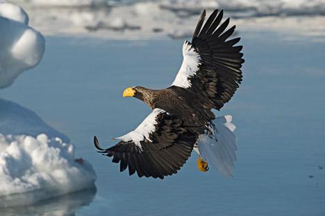 Elang laut Steller adalah satu dari sekian banyak burung berukuran besar di dunia. Foto: Photoshot/Vostok Photo
