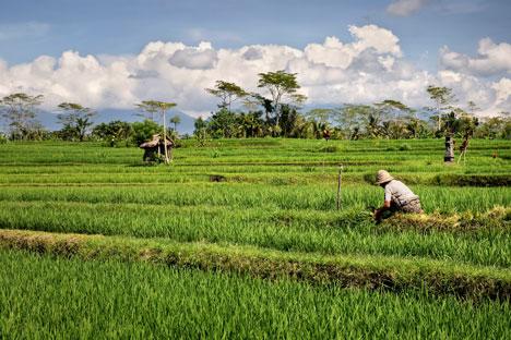 Inisiatif penciptaan Rasilica berangkat dari fakta bahwa Rusia menghasilkan satu juta ton padi per tahun, dan 20 persen di antaranya ialah sekam. Foto: Photoshot/Vostok Photo